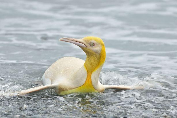žltý tučniak